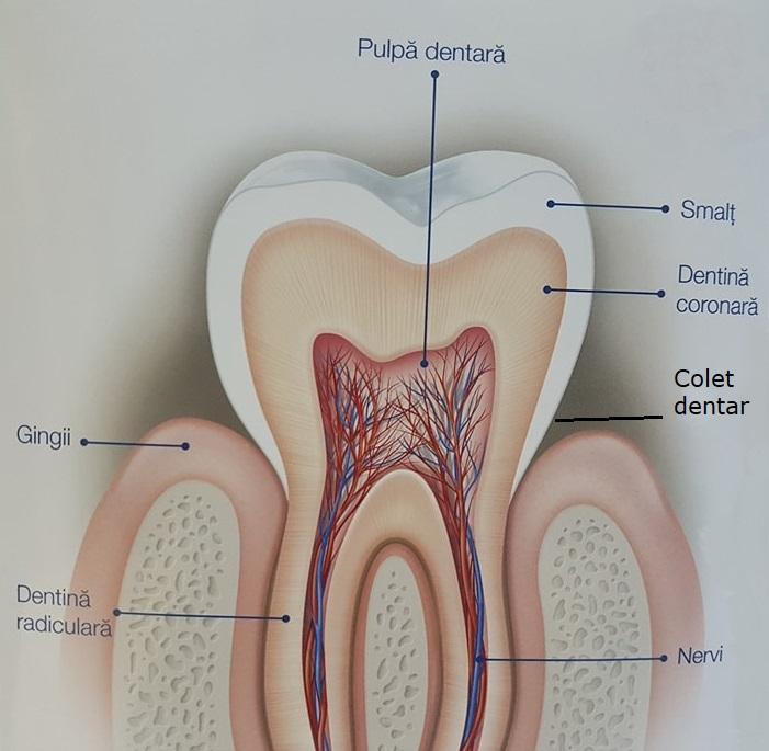 Coletul dentar